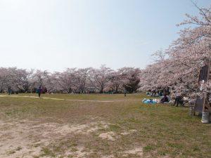 COEDO花見-Hanami-2018 桜